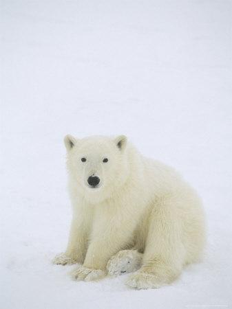 https://imgc.artprintimages.com/img/print/polar-bear-portrait-of-cub-waiting-for-hudson-bay-to-freeze-canada_u-l-q10r2er0.jpg?p=0