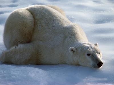 Polar Bear Relaxing on Ice, Canada-Jeff Foott-Photographic Print