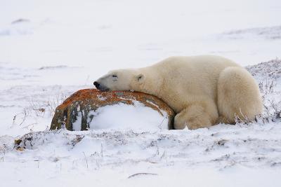 Polar Bear Resting, Churchill, Hudson Bay, Manitoba, Canada, North America-Bhaskar Krishnamurthy-Photographic Print