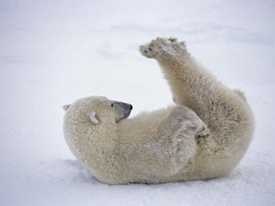 Polar Bear Rolling in Snow and Playing With Feet-Daniel Cox-Photographic Print