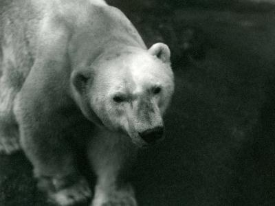 Polar Bear 'Sam' at London Zoo November 1920-Frederick William Bond-Photographic Print