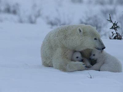 Polar Bear Sheltering Her 3-Month-Old Cubs in the Snow-Norbert Rosing-Photographic Print