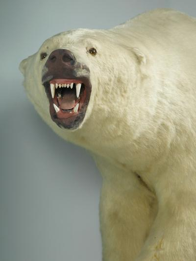 Polar Bear Shot by Cva Peel--Photographic Print