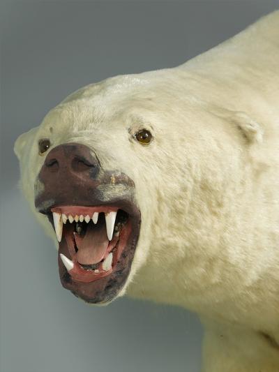 Polar Bear Shot by Cva Peel--Photographic Print