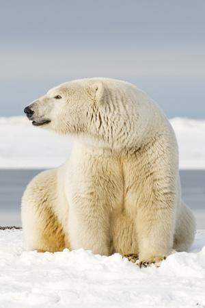 Polar Bear Sits Along Barrier Island, Bernard Spit, ANWR, Alaska, USA-Steve Kazlowski-Photographic Print
