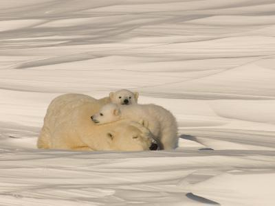 Polar Bear Sleeping with Her Cubs in a Snowy Landscape-Norbert Rosing-Photographic Print