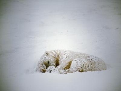 Polar Bear Sleeps in a Snowstorm-Jeff Foott-Photographic Print