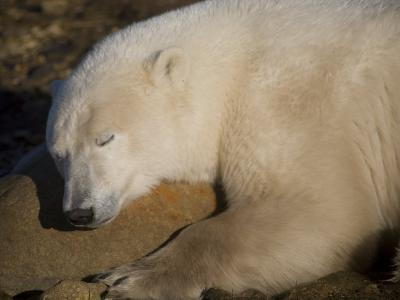 Polar Bear Sleeps on a Rock-Taylor S^ Kennedy-Photographic Print