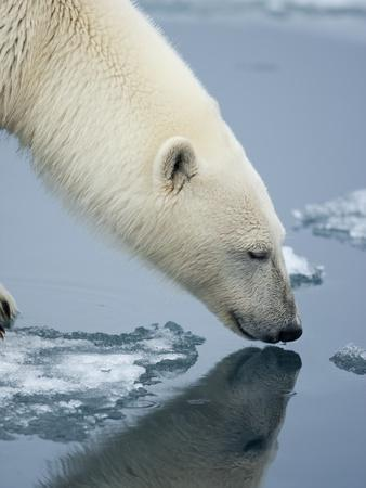 Polar Bear sniffing water-Paul Souders-Photographic Print