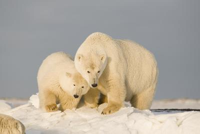 Polar Bear Sow with a 2-Year-Old Cub, Bernard Spit, ANWR, Alaska, USA-Steve Kazlowski-Photographic Print