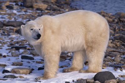 Polar Bear Standing on Rocks-DLILLC-Photographic Print