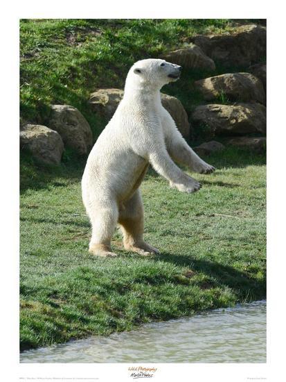 Polar Bear Standing Up-Martin Fowkes-Giclee Print