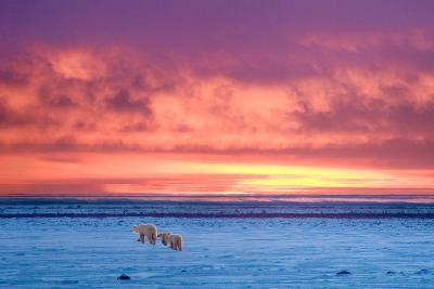 Polar Bear Sunset-Howard Ruby-Photographic Print