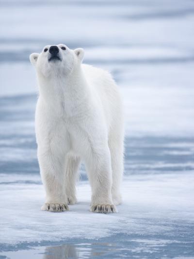 Polar Bear, Svalbard, Norway-Paul Souders-Photographic Print