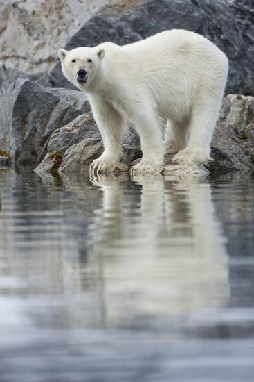 Polar Bear, Svalbard, Norway--Photographic Print