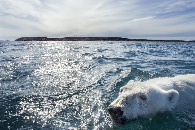 Polar Bear Swimming by Harbour Islands, Nunavut, Canada-Paul Souders-Photographic Print