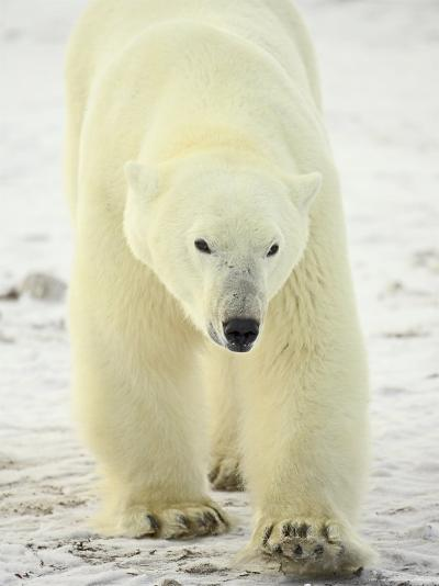 Polar Bear (Thalarctos Maritimus), Churchill, Manitoba, Canada, North America-James Hager-Photographic Print