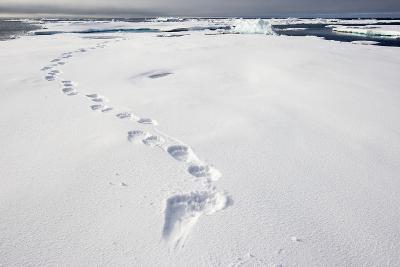 Polar Bear Tracks in Fresh Snow at Spitsbergen Island-Paul Souders-Photographic Print