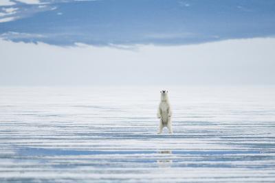 Polar Bear Travels Along Sea Ice, Spitsbergen, Svalbard, Norway-Steve Kazlowski-Photographic Print