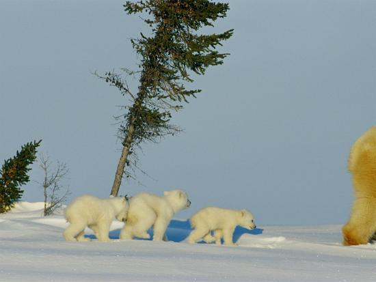 Polar Bear Triplets Follow in Their Mothers Footsteps-Norbert Rosing-Photographic Print
