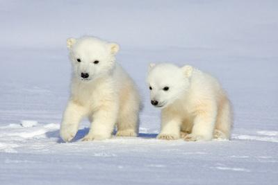 https://imgc.artprintimages.com/img/print/polar-bear-twins_u-l-piimps0.jpg?p=0