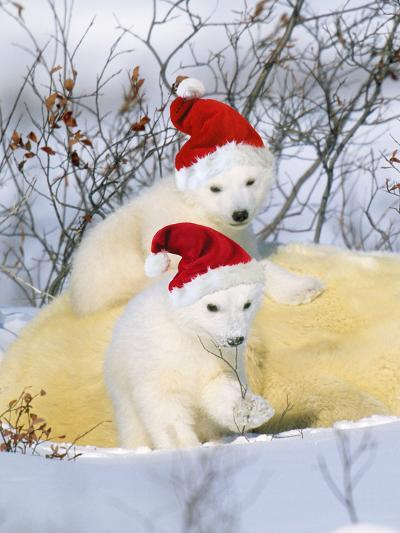 Polar Bear Two Cubs Wearing Christmas Hats--Photographic Print