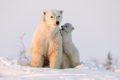 Polar Bear (Ursus Maritimus) and Cub, Wapusk National Park, Churchill, Hudson Bay, Manitoba, Canada-David Jenkins-Photographic Print