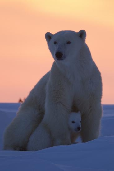 Polar Bear (Ursus Maritimus) and Cub, Wapusk National Park, Churchill, Hudson Bay, Manitoba, Canada-David Jenkins-Photographic Print
