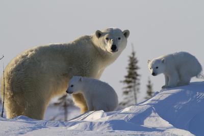 https://imgc.artprintimages.com/img/print/polar-bear-ursus-maritimus-and-cubs-wapusk-national-park-churchill-hudson-bay-canada_u-l-piatyf0.jpg?p=0