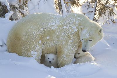 Polar Bear (Ursus Maritimus) and Cubs, Wapusk National Park, Churchill, Hudson Bay, Canada-David Jenkins-Photographic Print
