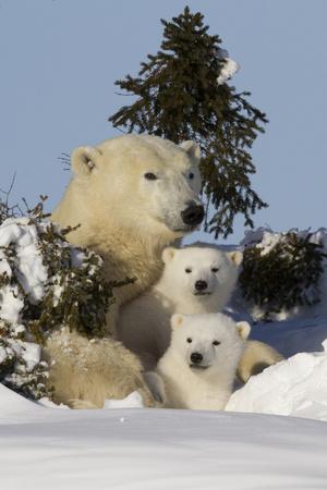 https://imgc.artprintimages.com/img/print/polar-bear-ursus-maritimus-and-cubs-wapusk-national-park-churchill-hudson-bay-canada_u-l-pxwoay0.jpg?p=0