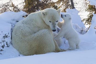 Polar Bear (Ursus Maritimus) and Cubs-David Jenkins-Photographic Print