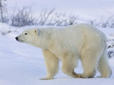 Polar Bear (Ursus Maritimus), Churchill, Hudson Bay, Manitoba, Canada-Thorsten Milse-Photographic Print
