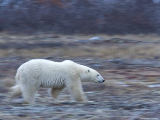 Polar Bear, Ursus Maritimus, Churchill, Manitoba, Canada-Thorsten Milse-Photographic Print
