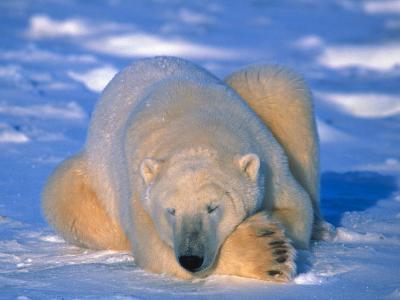 Polar Bear (Ursus Maritimus). Churchill, Manitoba Canada-Nick Norman-Photographic Print