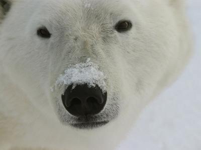 Polar Bear, Ursus Maritimus, Churchill, Manitoba-Yvette Cardozo-Photographic Print
