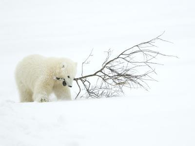 https://imgc.artprintimages.com/img/print/polar-bear-ursus-maritimus-cub-playing-with-branch-churchill-canada-november_u-l-q11px0b0.jpg?p=0