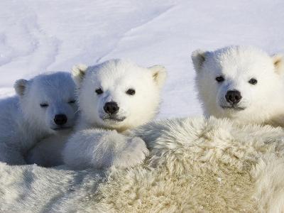 Polar Bear (Ursus Maritimus) Cubs Peeking over Mother, Wapusk Nat'l Park, Manitoba, Canada-Suzi Eszterhas/Minden Pictures-Photographic Print