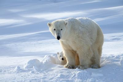 Polar Bear (Ursus Maritimus) Female Coming Out The Den With One Three Month Cub-Eric Baccega-Photographic Print