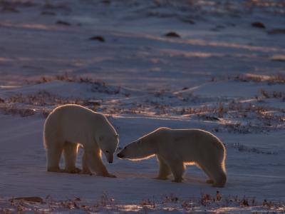 Polar Bear (Ursus Maritimus), Hudson Bay, Churchill, Manitoba, Canada, North America-Thorsten Milse-Photographic Print