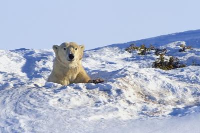 Polar Bear (Ursus Maritimus) in Wapusk National Park; Churchill, Manitoba, Canada-Design Pics Inc-Photographic Print