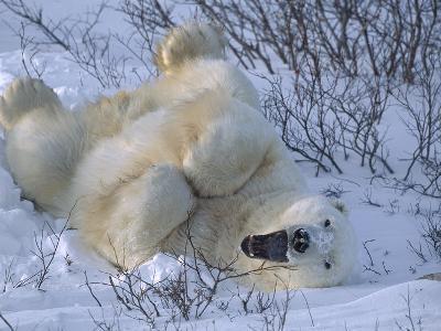 Polar Bear (Ursus Maritimus) Large Male Stretching and Yawning, Manitoba, Canada-Suzi Eszterhas/Minden Pictures-Photographic Print