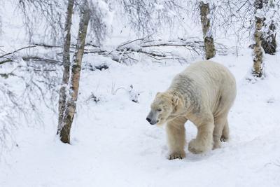 Polar Bear (Ursus Maritimus) Male, Captive, Highland Wildlife Park, Kingussie, Scotland, U.K.-Ann & Steve Toon-Photographic Print