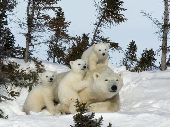 Polar Bear (Ursus Maritimus) Mother with Triplets, Wapusk National Park, Churchill, Manitoba-Thorsten Milse-Photographic Print