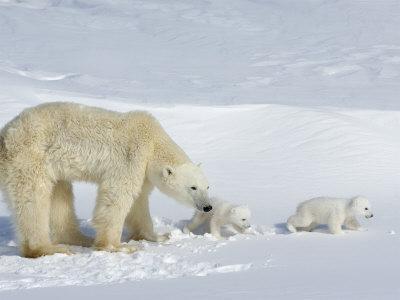 https://imgc.artprintimages.com/img/print/polar-bear-ursus-maritimus-mother-with-twin-cubs-wapusk-national-park-churchill-manitoba_u-l-p1prvo0.jpg?p=0