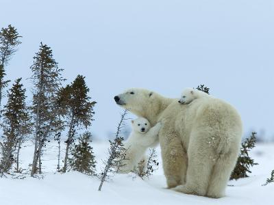 Polar Bear (Ursus Maritimus) Mother with Twin Cubs, Wapusk National Park, Churchill, Manitoba-Thorsten Milse-Photographic Print