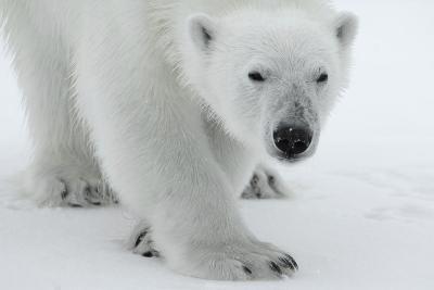 Polar Bear (Ursus Maritimus) Portrait, Svalbard, Norway, July 2008-de la-Photographic Print