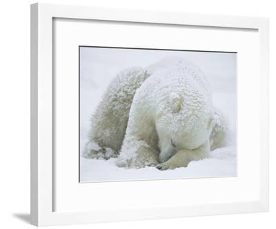 Polar Bear (Ursus Maritimus) Sleeping, Hudson Bay, Canada-Konrad Wothe-Framed Photographic Print