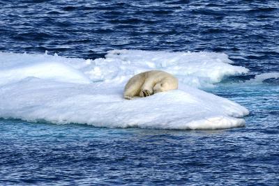 Polar Bear, Ursus Maritimus, Sleeping on Iceberg-Raul Touzon-Photographic Print