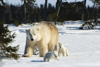 Polar Bear (Ursus Maritimus) Sow and Cubs Walking in Wapusk National Park; Churchill-Design Pics Inc-Photographic Print